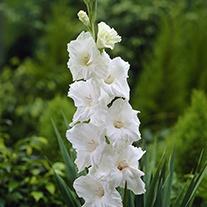 Gladioli White Prosperity Flower Corms