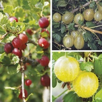 Season Long Gooseberry Plant Collection
