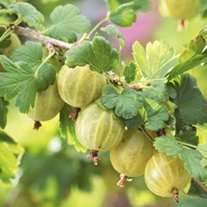 Gooseberry Hinnonmaki Yellow Plant