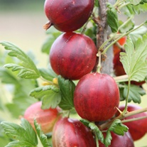 Gooseberry Xenia Fruit Plant