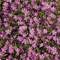 Gypsophila Gypsy Rose Plants