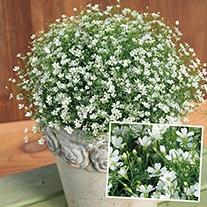Gypsophila Gypsy White Plants
