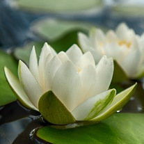 Water Lily Alba Pond Plant