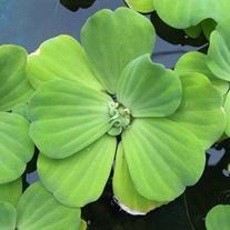 Pistia stratoides Floating Pond Plant