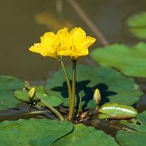 Nymphoides peltata Deep Water Plant