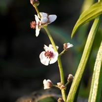 Sagittaria Marginal Plant