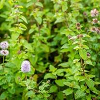 Mentha aquatica Marginal Plant