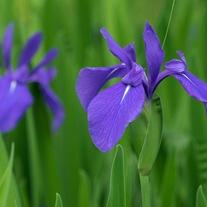 Iris laevigata Blue Marginal Plant