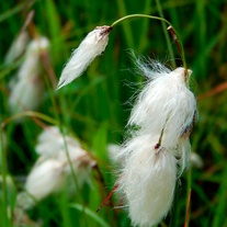 Eriophorum angustifolium Marginal Plant