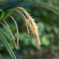 Carex pendula Marginal Plant