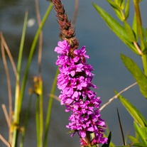 Lythrum salicaria Marginal Plant
