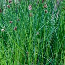 Cyperus longus Marginal Plant