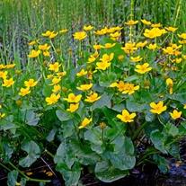 Caltha palustris Marginal Plant