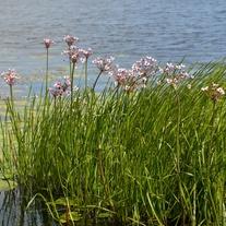 Butomus umbellatus Marginal Plant