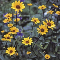 Heliopsis Summer Nights Flower Plants