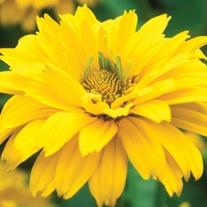 Heliopsis  helianthoides var. scabra Summer Sun Plants