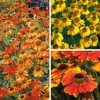Helenium Plant Collection