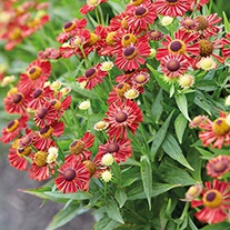 Helenium Mariachi Siesta Flower Plants