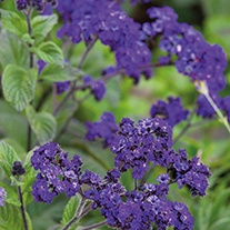 Heliotrope Midnight Sky Flower Plants