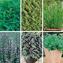 Perennial Herb Plant Collection
