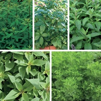 Herbs for Tea Plant Collection