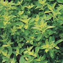 Marjoram Gold Tipped Herb Plants
