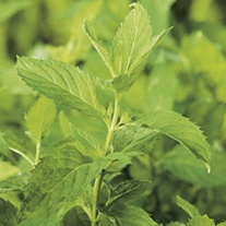 Peppermint Herb Plants