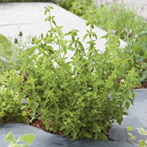 Oregano Hot 'n' Spicy Herb Plant