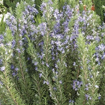 Rosemary Tuscan Blue Herb Plant