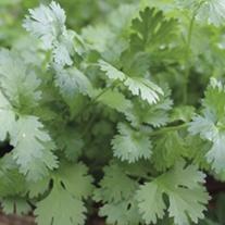 Coriander Herb Plants