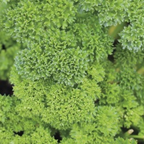 Parsley Curled Herb Plants