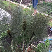 Bronze Fennel Herb Plants