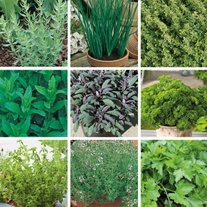 Bumper Kitchen Garden Herb Collection
