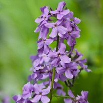 Hesperis matronalis Purple Plants