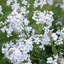 Hesperis matronalis White Plants