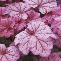 Heuchera Berry Smoothie Flower Plants