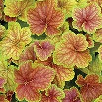 Heuchera Delta Dawn Plants