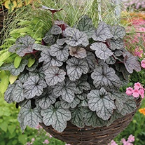 Heuchera Glitter Flower Plants