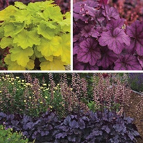 Heuchera Plant Collection
