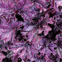 Heuchera Forever Purple Plants