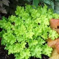 Heuchera Lime Marmalade Flower Plants