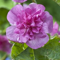Alcea Poetry Plants