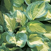 Hosta Great Expectations plants