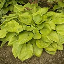 Hosta Sum and Substance plants
