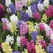Hyacinths Garden Mixed Bulbs