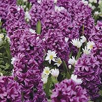 Hyacinth Miss Saigon Bulbs