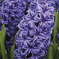 Hyacinth Blue Jacket Bulbs