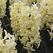 Hyacinth City of Haarlem Bulbs