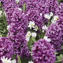 Anemone & Hyacinth Bulb Collection