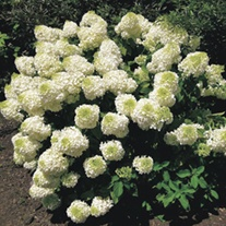 Hydrangea paniculata Silver Dollar Plants